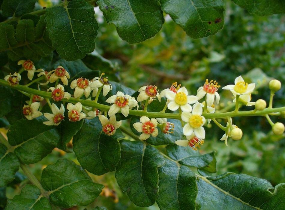 boswellia serrata2